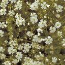かすみ草 種 【 宿根かすみ草 スノーフレーク 】 小袋 ( かすみ草の種 花の種 )