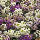 アリッサム 種 【 イースターボネットパステルミックス 】 小袋 ( アリッサムの種 花の種 )
