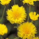 矢車草 セントーレア 種 【 イエローサルタン 】 小袋 ( 矢車草 セントーレアの種 )