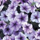 早咲き種。花のサイズは中輪。