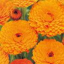 金盞花(キンセンカ) 種 【 オレンジ スター 】 1dl ( 金盞花(キンセンカ)の種 )