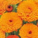 金盞花 キンセンカ 種 【 オレンジスター 】 小袋 ( 金盞花 キンセンカの種 花の種 )
