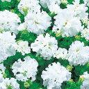 ペチュニア 種 【 F1ソナタ(八重咲き種) 】 1000粒 ( ペチュニアの種 )