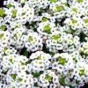 アリッサム 種 【 イースターボネット ホワイト 】 10ml ( アリッサムの種 )