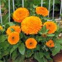 金盞花(キンセンカ) 種 【 オレンジ ゼム 】 1dl ( 金盞花(キンセンカ)の種 )