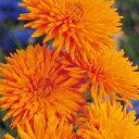 金盞花(キンセンカ) 種 【 オレンジ ポーキュパイン 】 小袋 ( 金盞花(キンセンカ)の種 花の種 )