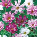 コスモス(秋桜) 種 【 シーシェル混合 】 小袋(約70粒) ( コスモス(秋桜)の種 花の種 )