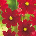コスモス(秋桜) 種 【 レッドベルサイユ 】 小袋 ( コスモス(秋桜)の種 花の種 )