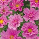 コスモス(秋桜) 種 【 ダブルクリック ローズボンボン 】 小袋 ( コスモス(秋桜)の種 花の種 )