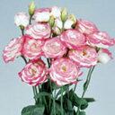 トルコギキョウ 種  ペレット3000粒 ( トルコギキョウの種 花の種 )