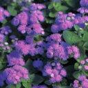 アゲラタム 種 【 ブルーハワイ 】 ペレット1000粒 ( アゲラタムの種 花の種 )