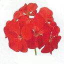 ゼラニューム 種 【 トレジャー レッド 】 250粒 ( ゼラニュームの種 花の種 )