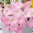 ペチュニア 種 【 エコチュニア ラベンダーピンク 】 ペレット1000粒 ( ペチュニアの種 花の種 )