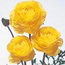 花の球根 【 ラナンキュラス 黄 】 5球入り ( 球根 ラナンキュラスの球根)