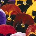 パンジー 種 【 スイスジャイアント混合 】 小袋 ( パンジーの種 花の種 )