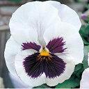パンジー 種 【 F1 ピカソ ホワイトブロッチ 】 小袋 ( パンジーの種 花の種 )