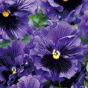 パンジー 種 【 F1 フリズルシズル ブルー 】 小袋 ( パンジーの種 花の種 )