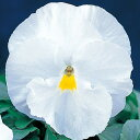 パンジー 種 【 F1 ピカソ クリアホワイト 】 小袋 ( パンジーの種 花の種 )
