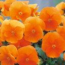 パンジー 種 【 F1 ナチュレ トゥルーオレンジ 】 小袋 ( パンジーの種 花の種 )