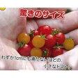 マイクロトマト 種 【黄】 20粒 ( 種 野菜 野菜種子 野菜種 )