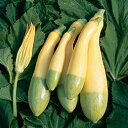 ズッキーニ 種 【グリーンパンツ】 小袋(約8粒) ( 種 野菜 野菜種子 野菜種 )