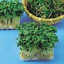 スプラウト 種 【 マスタード(からし菜) 】 種子 小袋(約40ml) ( 種 野菜 野菜種子 野菜種 )