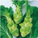 中国野菜 種 【 四川搾菜(ザーサイ)  】 小袋 ( 種 野菜 野菜種子 野菜種 )