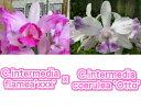 C.intermedia flamea X sib C.インターメディア フラメア X sib