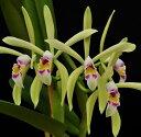 C.iricolor'Alpha'xSelfカトレア属イリカラー 'アルファ'Xセルフ 5000円以上購入で送料無料。