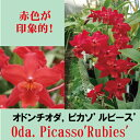 Oda. Picasso'Rubies' オドンチオダ属、ピカソ'ルビース'5000円以上購入で送料