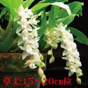 Pholidota. chinensis ポリドータ属、チネンシス