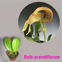 Bulb.grandiflorumバルボフィラム グランディフロラム5000円以上購入で送料無料。