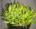 Platystele viridis プラティステレ、ビリディス