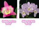Sc. CherryBee 'Fairy' X CandyTuft 'Taffy'ソフロニティスカトレア.テェリービー'フェアリー'xカトレア.キャンディタクト'タフィー'5000円以上購入で送料無料。