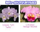 C.Candy Tuft 'Taffy' X Lc.Drumbeat'Heritage' HCC/AOS カトレア.キャンディタクト'タフィー'X レリオカトレア.カトレア.ドラムビート'ヘリテイジ'HCC/AOS5000円以上購入で送料無料。