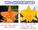 Blc.Fuchs orange Nagget 'Robert' AM/AOS X Pot. Haw Yuan Gold 'Youg Kong #2 GC/WOC99フクスオレンジナゲット'ロバート'Xハウヤンゴールド'ヤンコン#2'5000円以上購入で送料無料。