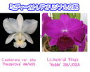 C.walkerana var. alba 'Pendentive' AM/AOS X Lc.Imperial Wings 'Noble' SM/JOGA カトレア.ワルケリアナ'ペンディンティブ'xレリオカトレア.インペリアルウイング'ノーブル'5000円以上購入で送料無料。