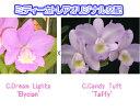 C.Dream Lights 'Elycian' X C.Candy Tuft 'Taffy'カトレア.ドリームライツ'エリシアン'xカトレア.キャンディタクト'タフィー'5000円以上購入で送料無料。