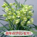 シンビジューム.アイシープリンセス5本【直立仕立て】 送料無料。