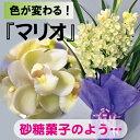 シンビジューム.ミニサラ'マリオ'3本【直立仕立て】 送料無料。