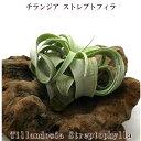 エアープランツ【チランジア】ストレプトフィラ Rサイズ【サイズ6〜8cm前後】【大型商品との同梱不可】