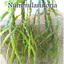 【リコポディウム】フペルジア ヌンムラリーフォリア 4号吊鉢【大型商品との同梱不可】