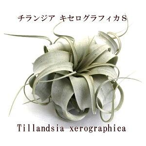 エアープランツ チランジア キセログラフィカ