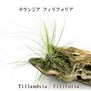エアプランツ チランジア フィリフォリア(12〜15cmcm前後) エアープランツ