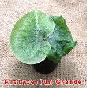 【希少】ビカクシダ グランデ 3.5号ポット水苔植え【全長15cm前後】【コウモリラン】【大型商品と