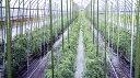 鋼管竹(タキロン) 径13.7mm×長さ120cm ( ガーデニング 野菜づくり トマト 栽培 ビニ