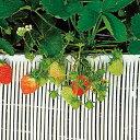 ストロースノコ 白 イチゴ用 25m×20cm( 野菜 果物 果樹栽培 農具 ハウス栽培 いちご イ