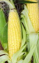 Tokachi product: &quot;I send corn &quot;&quot; 30 in August&quot; [i]