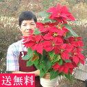 鉢植えポインセチア「タワー7号・レッド」◆お歳暮、クリスマスギフト、プレゼント用のギフトに最適。◆高さ70センチのツリータイプ、コンパクトで場所を選ばずクリスマスの飾り付けに10P03Dec16