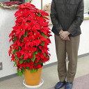 鉢植えポインセチア「タワー9号・レッド」◆お歳暮、クリスマスギフト、お祝い、プレゼント用にギフト仕様でお届けします。◆高さ1メートル、花で覆い尽くされた姿はクリスマスのディスプレーに最適。10P03Dec16